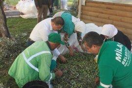 Belediye zeytinlerini kendisi topluyor