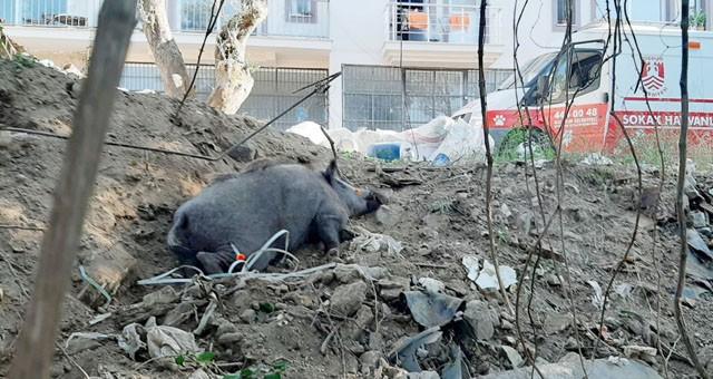 Kapana yakalanan domuz ekipler tarafından kurtarıldı