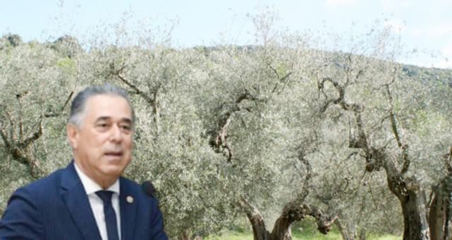 Aşırı sıcaklar zeytini kuruttu, Milletvekili Özcan Bakan'a sordu!