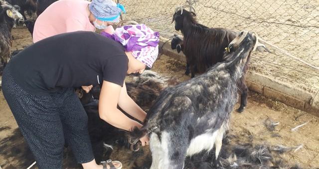 Yörükler, yaylaya göç ve keçileri kırkmaya başladı..