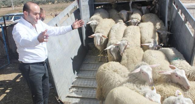 Avrupa'nın en verimli koyunları Milas'ta..