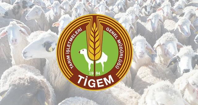 2 bin baş reforme erkek kuzu açık artırma ile satılacak