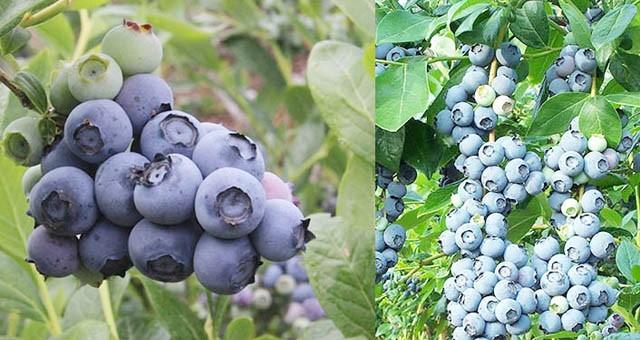 Mavi yemiş yetiştiriciliği ve üretim projesi kapsamında fide ve malzeme alınacak
