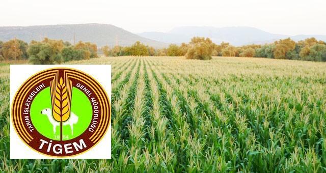 Dane mısır ve ayçiçeği hasadı yaptırılacaktır