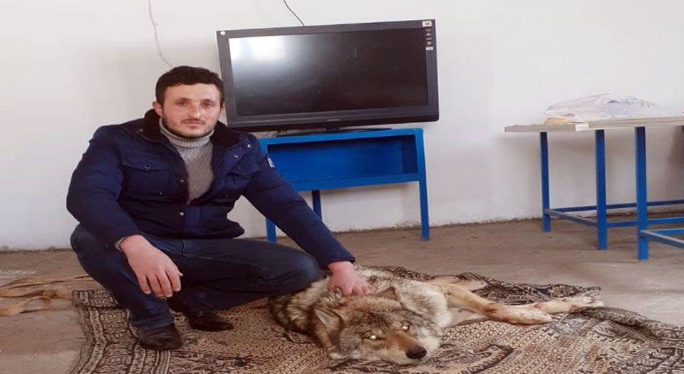 Ardahan'da Yaralı Kurt Donmak Üzereyken Kurtarıldı