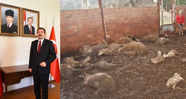 Hayvanları telef olan üreticiye Vali Tavlı'dan 40 adet koyun sözü