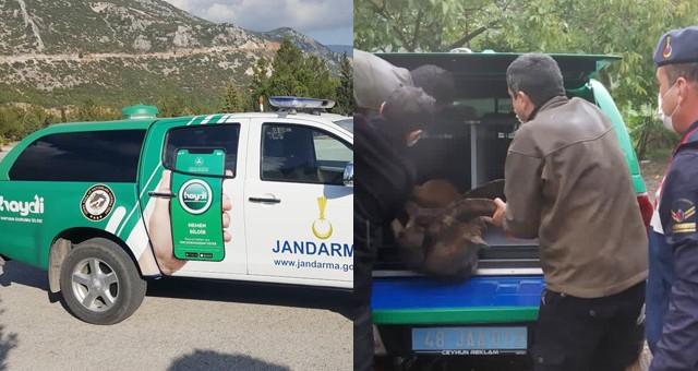 Jandarma'dan yaralı yaban keçisine kurtarma operasyonu