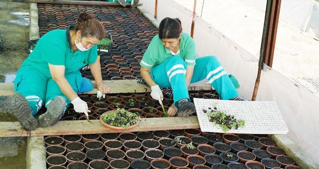 Milas Belediyesi, çiçeklerini kendi üretiyor..