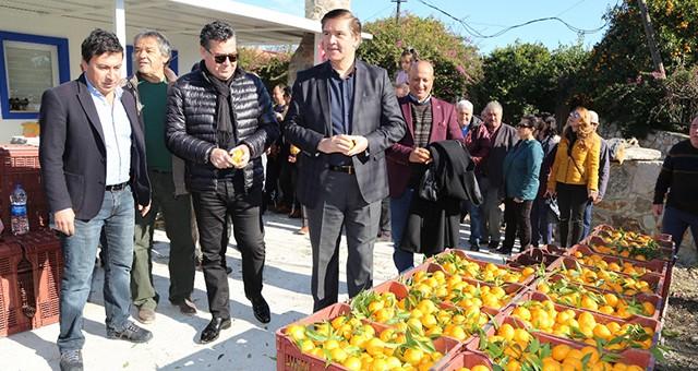 Bodrum Mandalinası Hasat Festivali Yapıldı