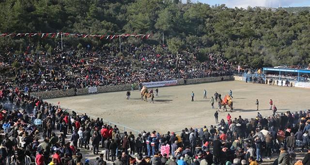 Bodrum Deve Güreşi Festivali Yapıldı