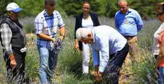 """Başkan Gürün ilk Lavanta hasadında... """"Toprağını Satma Ürününü Sat..."""""""