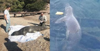 Güllük'te ölmüş fok balığı bulundu